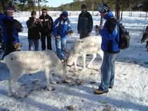 Krmenie sobov v reindeer parku v Salle - Roman